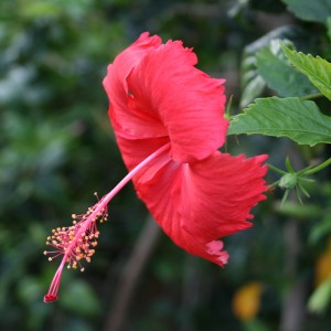 Hibiscus Maui Hawaii