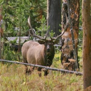 Bull Elk, Yellowstone National Park