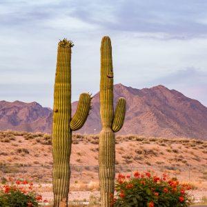 Cactus and Mountains in Scottsdale Arizona