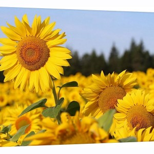 Canvas Wrap - Sunflowers